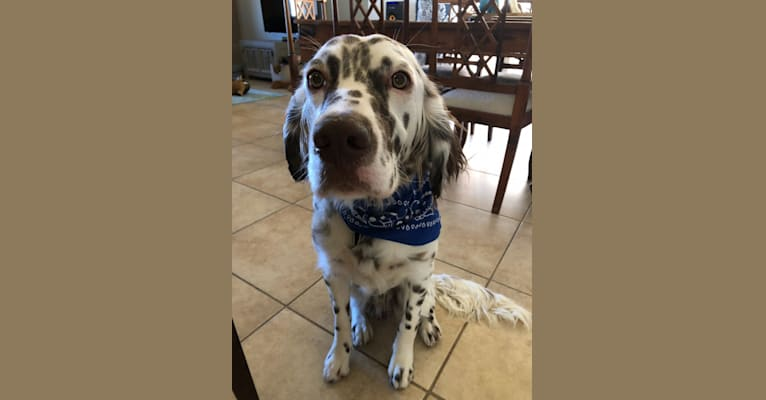 Photo of Winter, a Llewellin Setter  in Santa Fe, New Mexico, USA