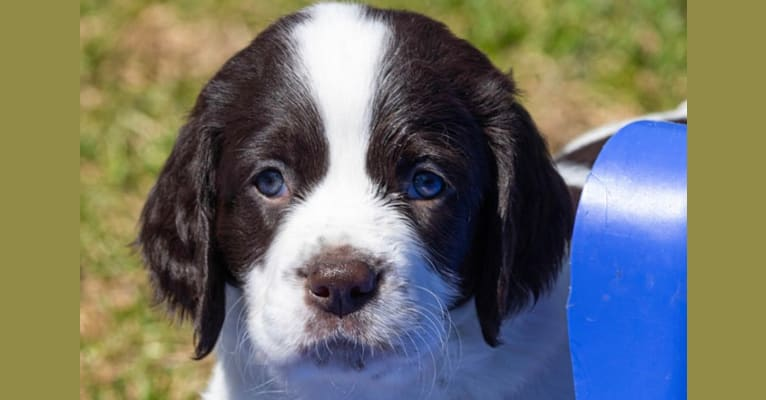 Photo of Fury ProHunter Des Appalaches, a French Spaniel  in Saint-Georges, QC, Canada