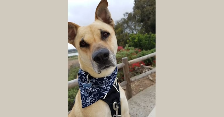 Photo of Victor, a Chow Chow, American Pit Bull Terrier, Great Dane, German Shepherd Dog, Weimaraner, and Mixed mix in California, USA