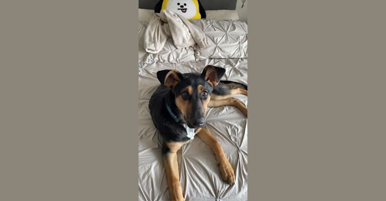 Photo of Anna, a German Shepherd Dog, American Pit Bull Terrier, Labrador Retriever, and Mixed mix in Normal, Illinois, USA