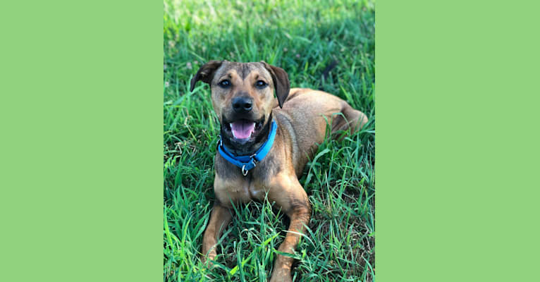 Photo of Jasper, an American Staffordshire Terrier, Russell-type Terrier, and Labrador Retriever mix in Stafford, Virginia, USA