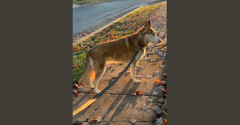 Photo of Bella, a Siberian Husky and German Shepherd Dog mix in Philadelphia, Pennsylvania, USA