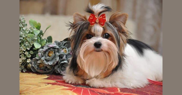Photo of DJ, a Biewer Terrier