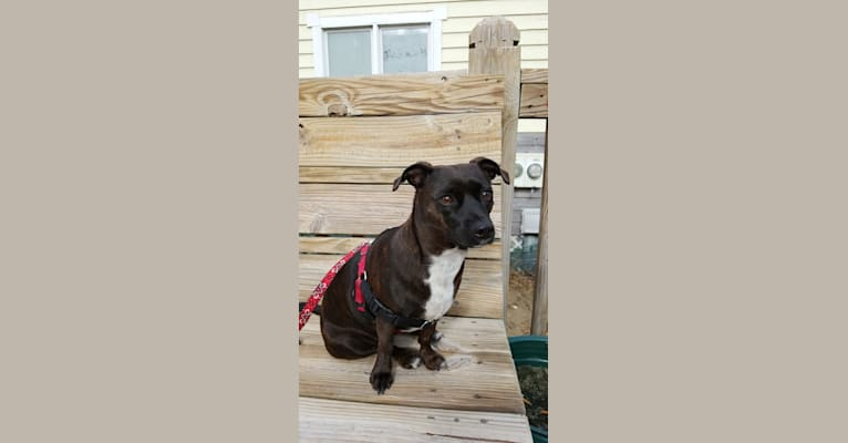 Photo of Jetta, a Miniature Pinscher, Boston Terrier, Rat Terrier, and Poodle (Small) mix in Houston, Texas, USA