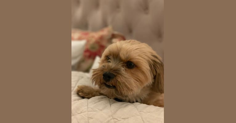 Photo of Griffin, a Yorkshire Terrier, Shih Tzu, and Chihuahua mix in Bakersfield, California, USA