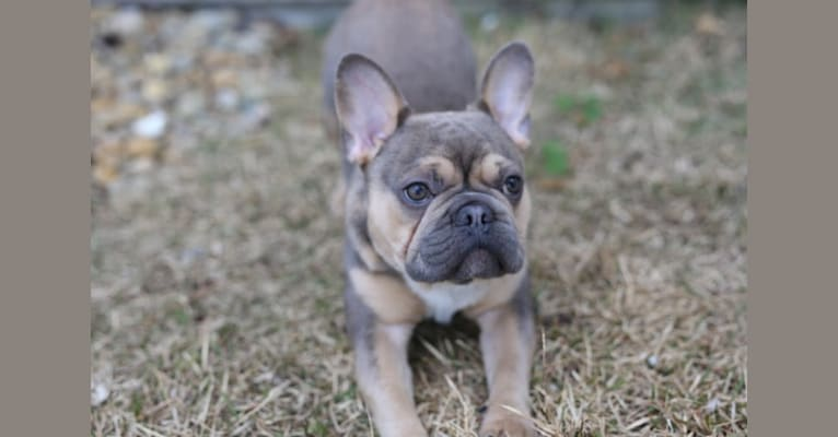 Photo of Chop, a French Bulldog  in Texas, USA
