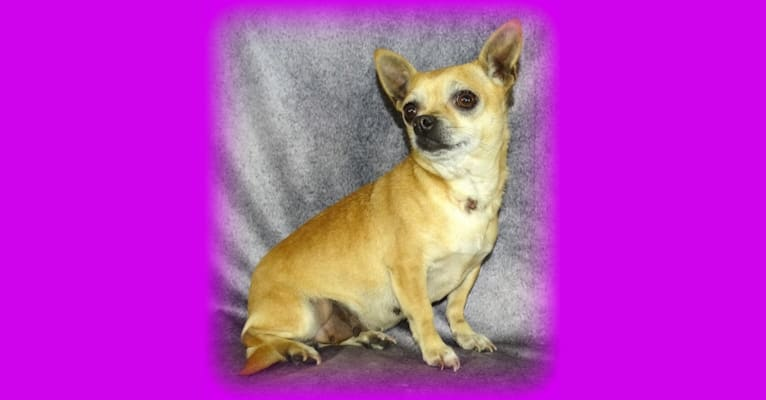 Photo of Pasta, a Chihuahua and Russell-type Terrier mix