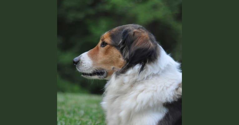 Photo of Bonnie, a Collie (Scottish-Type)