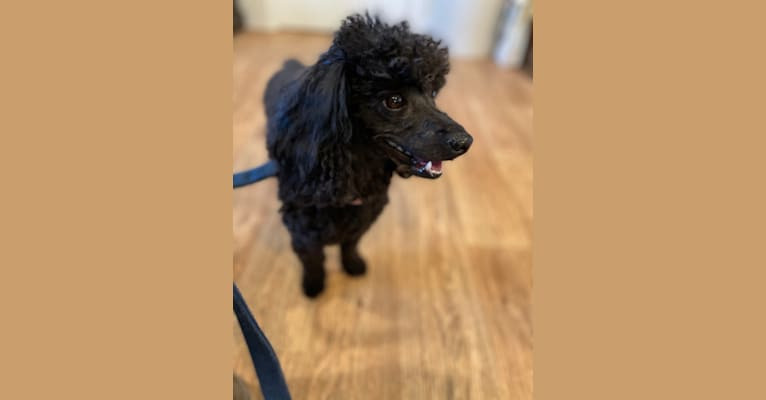 Photo of Zoe, a Poodle (Small)