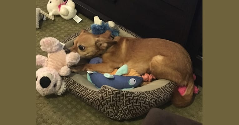 Photo of Colby, a Pomeranian, Cavalier King Charles Spaniel, Chihuahua, and Mixed mix in Missouri, USA