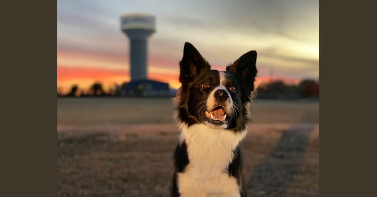"""Photo of Shine On's A Great Deal of Bravery """"Neville"""", a Border Collie  in Sturbridge, MA, USA"""