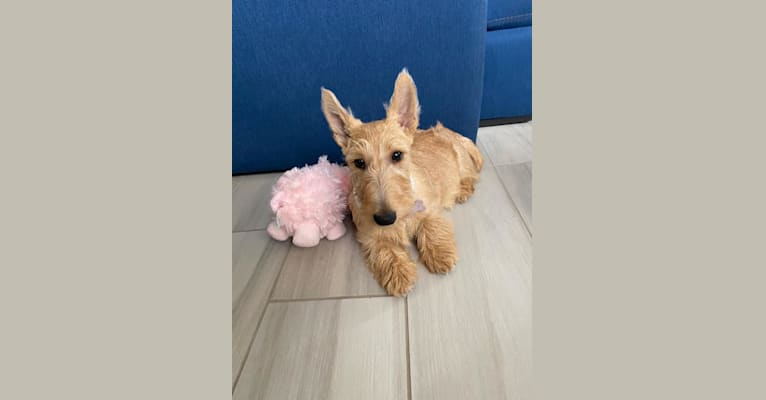Photo of Duchess, a Scottish Terrier  in Buenos Aires, Argentina
