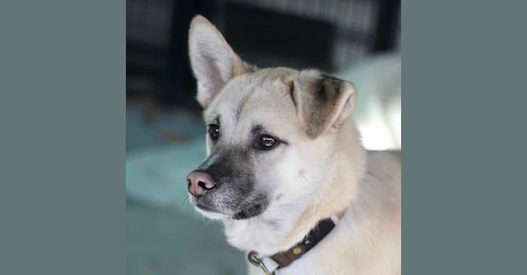 Photo of Mana Kia'i, an East Asian Village Dog  in Seongnam-si, South Korea