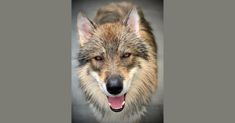 Photo of Maska, a Siberian Husky, German Shepherd Dog, Alaskan Malamute, and Czechoslovakian Vlcak mix in Kettering, UK