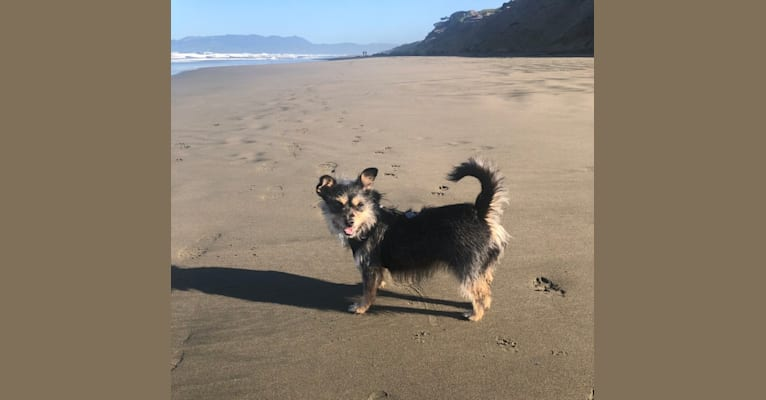 Photo of Peanut Karma, a Poodle (Small), Chihuahua, Miniature Pinscher, and Mixed mix in SF, California, USA