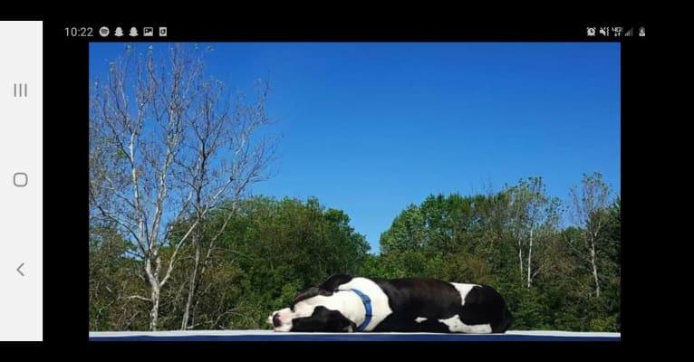 Photo of Piper, an American Bully  in Birch Run, Michigan, USA