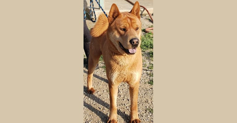 Photo of CurlyQ, a Chow Chow and Siberian Husky mix in Muscoy, California, USA