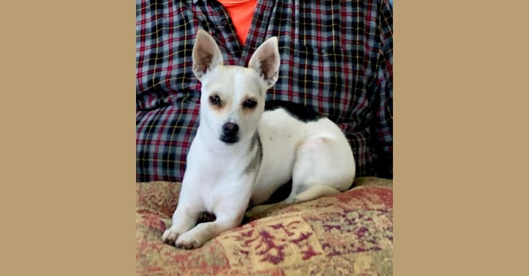 Photo of Missy, a Chihuahua, Miniature Pinscher, Poodle (Small), Rat Terrier, and Mixed mix in California, USA