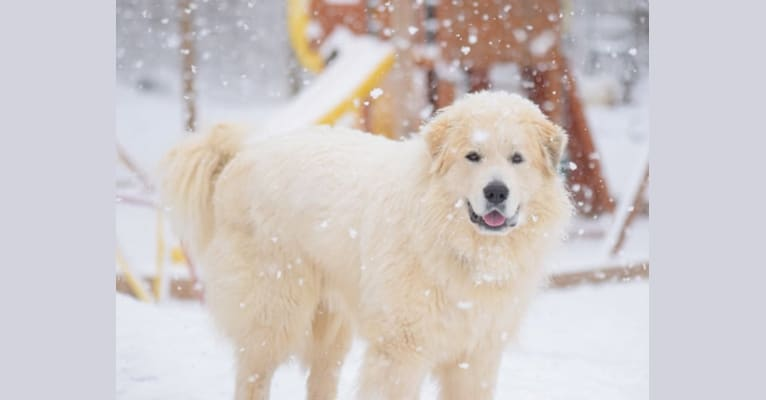 Photo of Voltaire, a Great Pyrenees  in 3512 Maple Bottom Dr, Unionville, VA 22567, USA