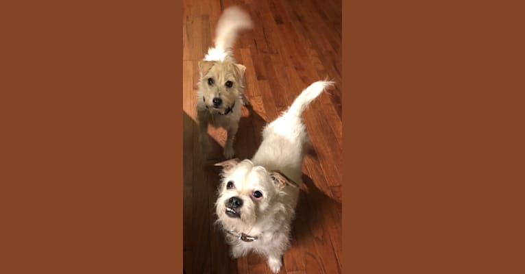 Photo of Finley, a Shih Tzu, Boston Terrier, Chihuahua, and Lhasa Apso mix in Randolph, New Jersey, USA