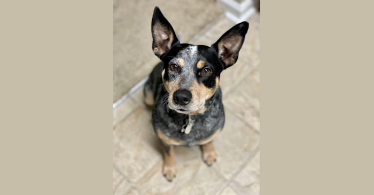 Photo of Geo, an Australian Cattle Dog, Rat Terrier, and Mixed mix in Maury County, TN, USA