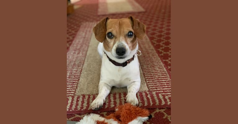 Photo of Cooper, a Cheagle (28.9% unresolved) in Glenview, Illinois, USA