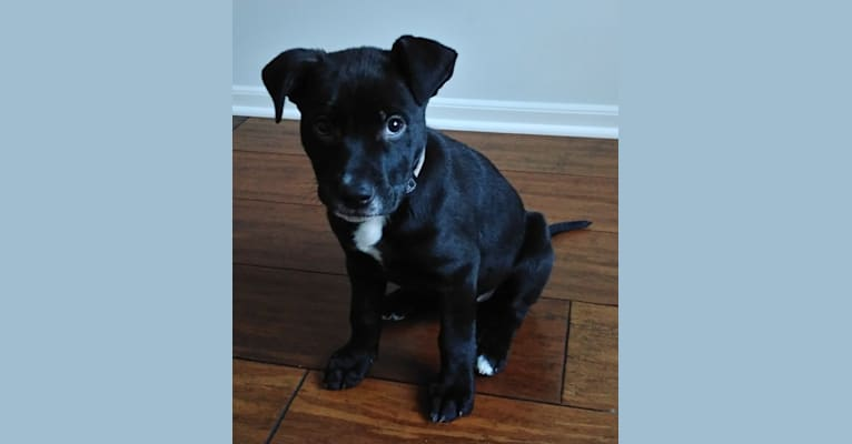 Photo of Archer, an American Pit Bull Terrier, German Shepherd Dog, and American Staffordshire Terrier mix in Texas, USA