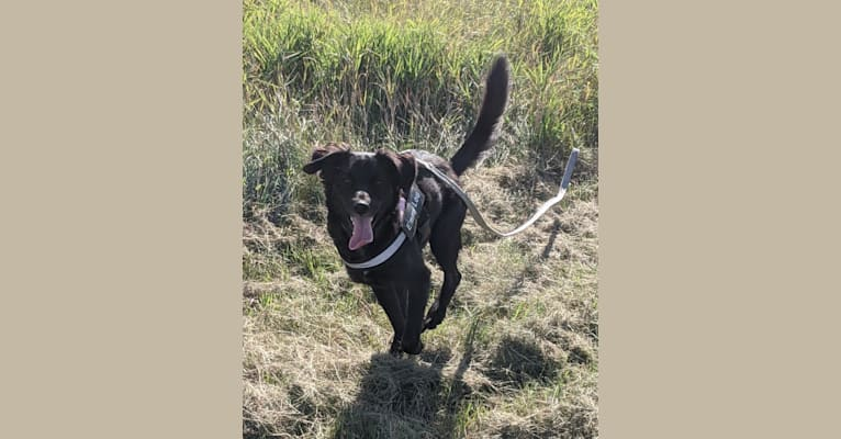 Photo of Emmy Lou, a German Shorthaired Pointer, Siberian Husky, German Wirehaired Pointer, German Shepherd Dog, Labrador Retriever, and Mixed mix in Turtle Mountain, ND, USA
