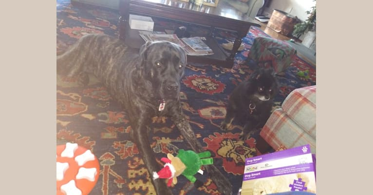 Photo of Izzy, a Mastiff  in Baltimore, Maryland, USA