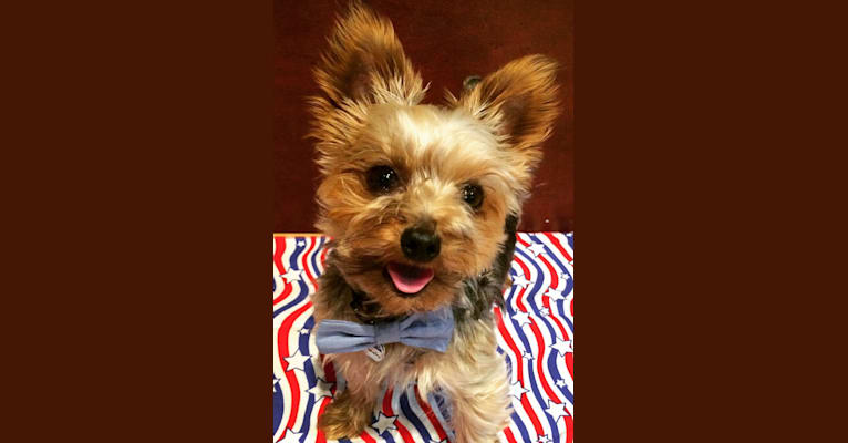 Photo of Chachi, a Yorkshire Terrier  in Phoenix, AZ, USA