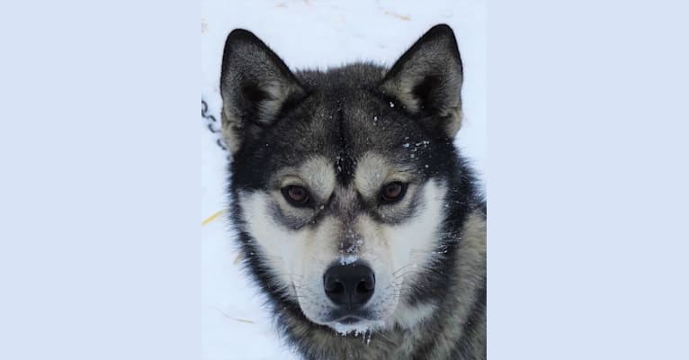 Photo of Cedar, a Siberian Husky  in 1431 County Road A, Phelps, WI, USA