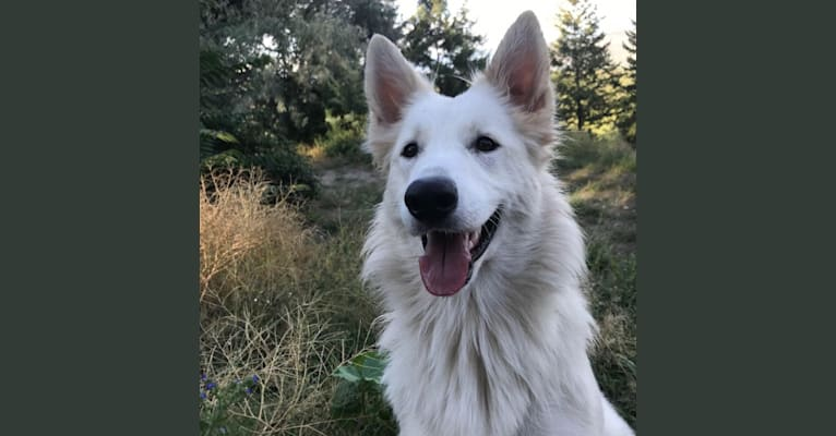 Photo of Catharina of Big Whites, a White Shepherd  in 457 Rose Valley Road, West Kelowna, BC, Canada