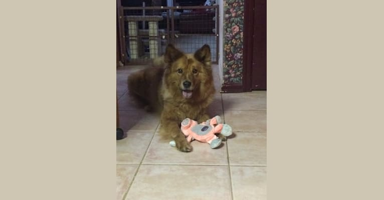Photo of Frosty, a Chow Chow, Australian Shepherd, and American Eskimo Dog mix in Phoenix, AZ, USA