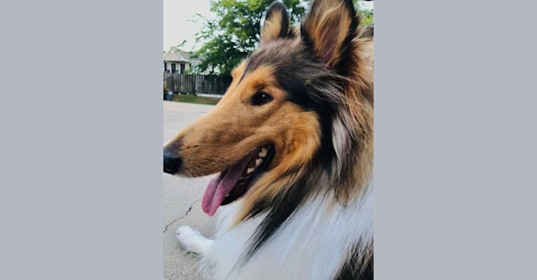 Photo of Pete, a Collie  in Reidsville, NC, USA