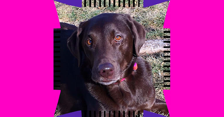 Photo of RYLEE, a Labrador Retriever  in Des Moines, Iowa, USA