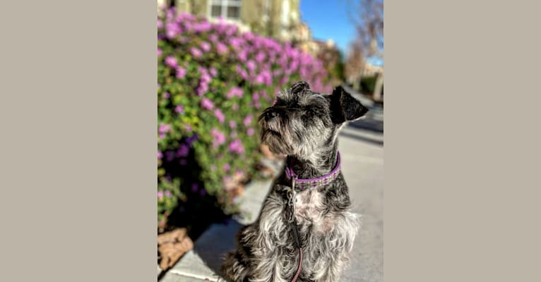 Photo of Emily, a Miniature Schnauzer (5.0% unresolved) in Calgary, AB, Canada