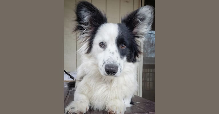 Photo of Major Point Jack Classic Clancy, a Cardigan Welsh Corgi  in Russia