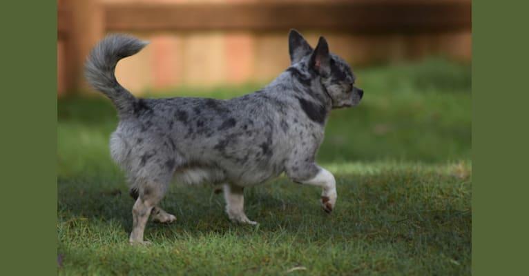 Photo of Pistachio, a Chihuahua  in Vandalia, MI, USA