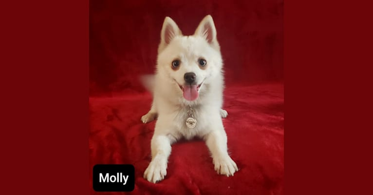 Photo of Molly, a Pomsky  in Spokane, Washington, USA