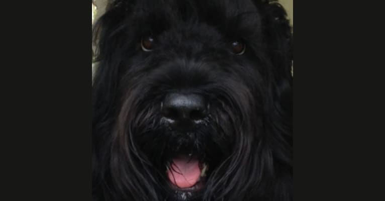 Photo of Fleur, a Black Russian Terrier