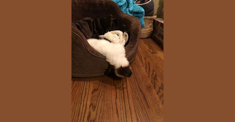 Photo of Stella, a Chihuahua, Poodle (Small), Beagle, and Labrador Retriever mix