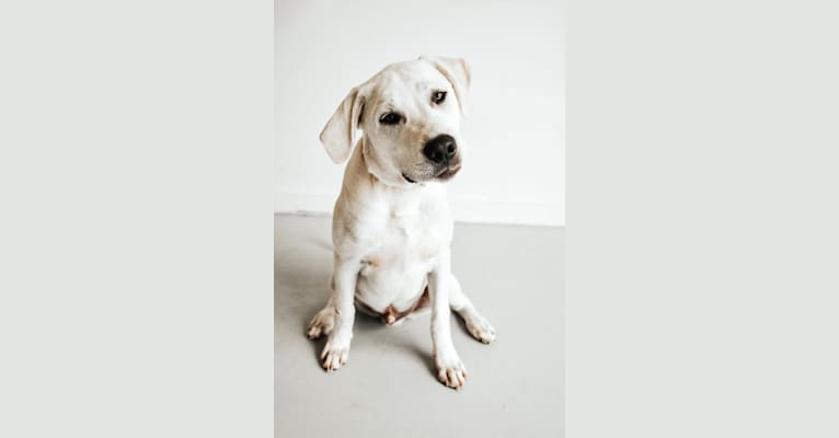 Photo of Kronk, a Great Pyrenees, American Pit Bull Terrier, and American Staffordshire Terrier mix in Oklahoma, USA