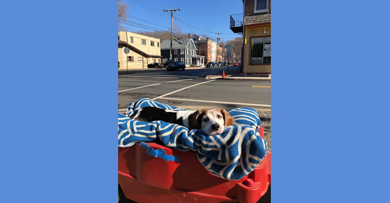 Photo of Junebug, a Beagle  in Lambertville, New Jersey, USA