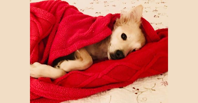 Photo of Zuzu Fox, an American Village Dog  in Puerto Plata, Puerto Plata Province, Dominican Republic