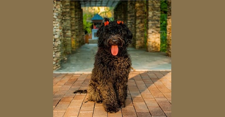 Photo of Harper Madison Walters, a Goldendoodle  in Pickens, SC, USA