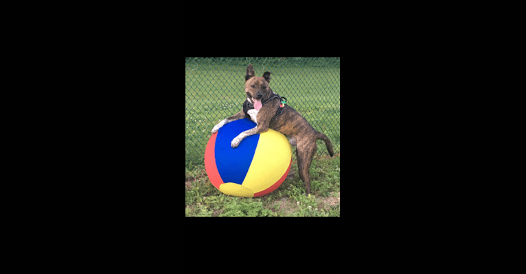 Photo of Koba, an Australian Cattle Dog, American Pit Bull Terrier, and American Staffordshire Terrier mix in Slatington, Pennsylvania, USA