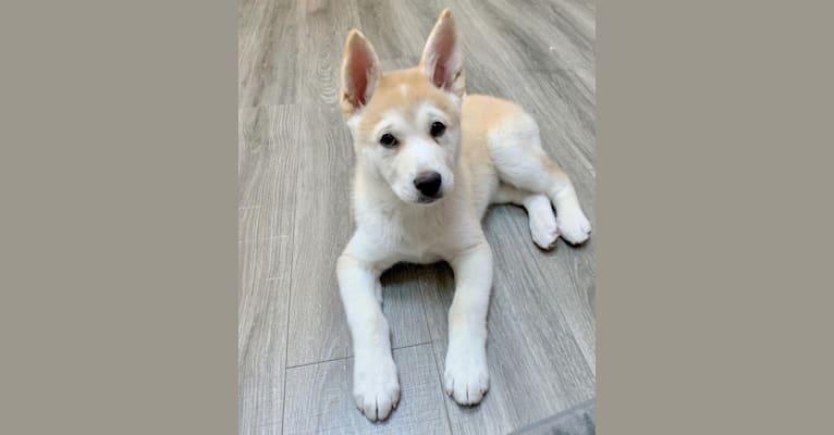 Photo of Spencer, an Akita, Siberian Husky, German Shepherd Dog, and Chow Chow mix in Pomona, California, USA