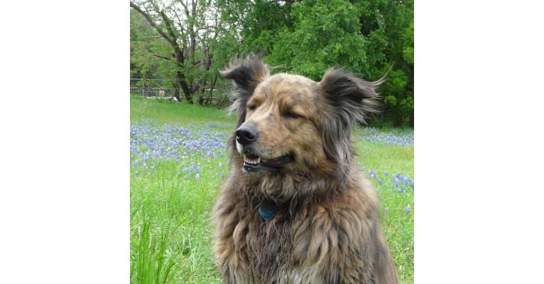 Photo of Tyler, a Chow Chow, American Pit Bull Terrier, Rottweiler, and German Shepherd Dog mix in Austin, Texas, USA