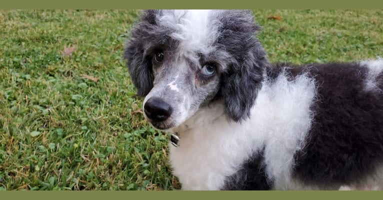 Photo of Dutch, a Poodle (Small)  in Texas, USA