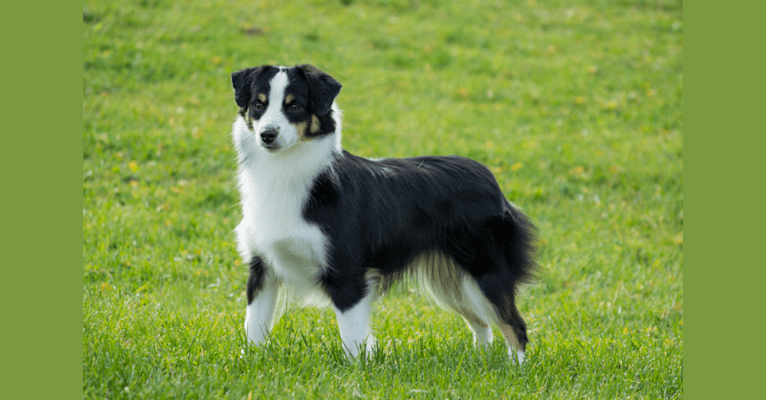 Photo of Charlie, an Australian Shepherd Group  in Bancroft, ON, Canada